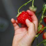 東京でイチゴ狩りができる農園がある! 日帰りOK家族・カップルで楽しもう
